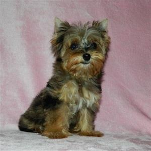 Teacup Yorkshire Terrier female