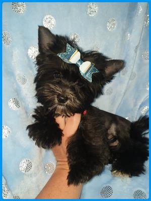 YORKSHIRE TERRIER FOR SALE