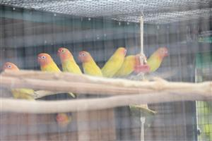 latino fischerand green rosie lovebirds for sale