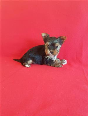 Yorkies available Pedigree puppies