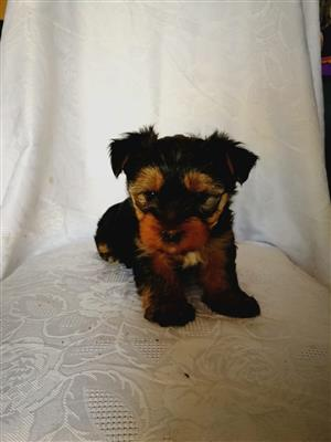 Miniature Yorkshire puppies for sale