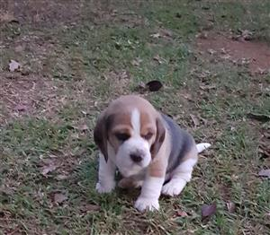 Male Beagle puppy for sale