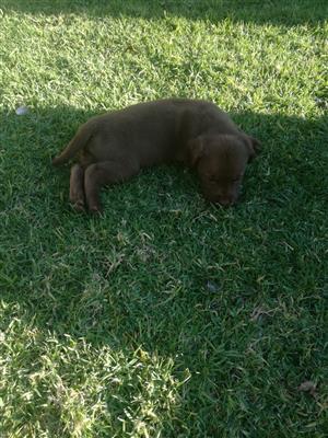 Registered Labrador Puppies