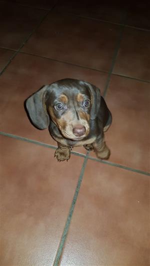 Dutch hound puppies for sale