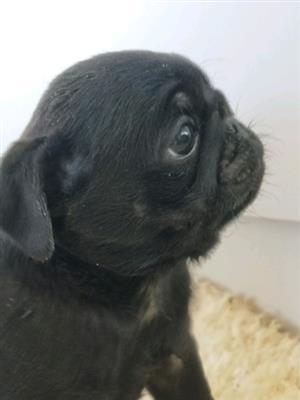 4 Pug Puppies