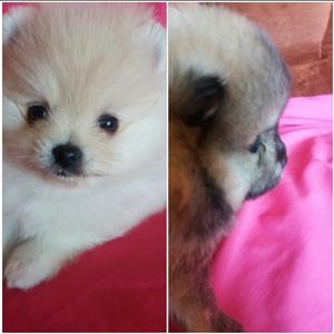 Pomeranian puppies.