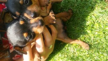 Miniature Doberman pincher puppies