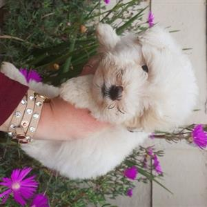 Maltese little ones