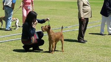 RED IRISH TERRIERS – CHAMPION THOROUGH BRED