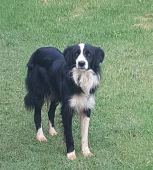 Purebred Border Collies