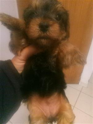 Yorkie Female available