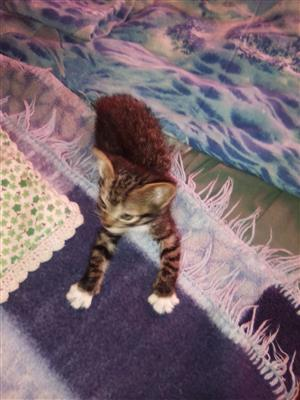 Bengal x male kitten available to approved home