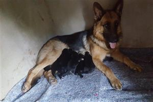 Stunning Pedigreed German Shepherd puppies for sale