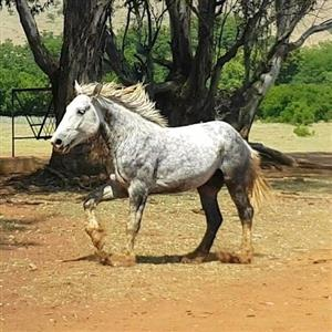 Percheron stallion