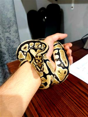 Female Leopard Ball Python with enclosure