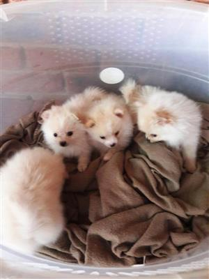 Pomeranian / toypom miniature pups , montana, pretoria, 0794976075, 0845572905