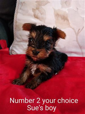 Top quality Yorkshire terrier puppies