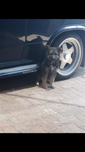 Female german shepherd pup