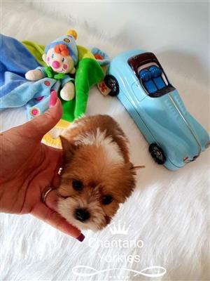 Pocket Yorkshire terrier boy