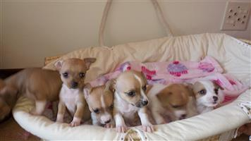 Chichuahua puppies