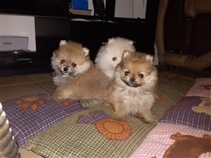Pure Bred Miniature Toy Poms for Sale