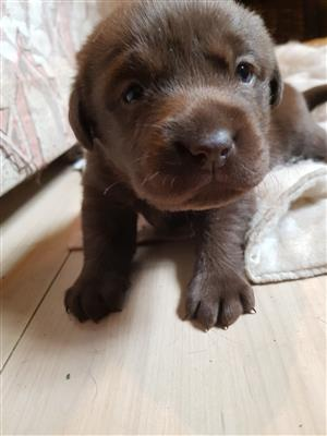 I have two SADBA registered purebred chocolate Labrador puppies for sale.