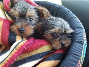 Two Female Yorkie puppies For Sale