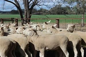 Pure Breed Merino Sheep for sell