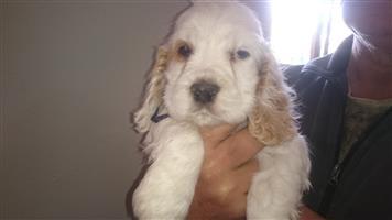 Rare Bi-colour English Cocker Spaniel Puppies Available!