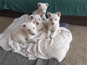 swiss white shepherd puppies