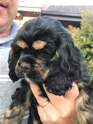 Cocker Spaniël (American) puppies available.