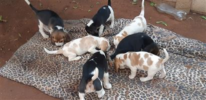 Beautiful Beagles for sale don't miss out