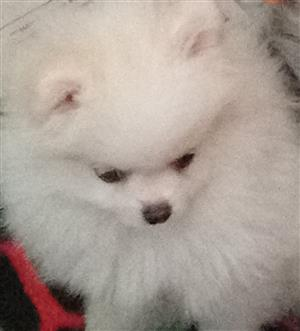 Pomeranian puppies for sale Toy pom teacup miniature | Junk Mail