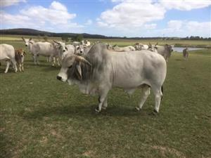 Brahman Bulls and Heifers now available on special for Christmas offer