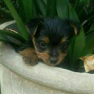 Teacup Yorkies for sale