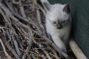 1x female Tonkinese kitten for sale