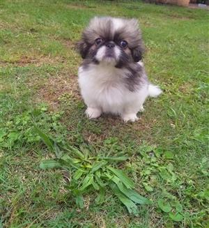 Beautiful Pekinese puppy