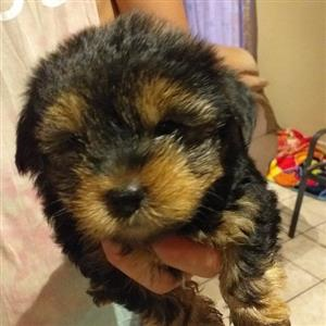 Yorkie male pups for sale