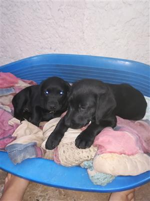 Labrodor Puppies for sale 9 weeks old already vaccinated and deworming done