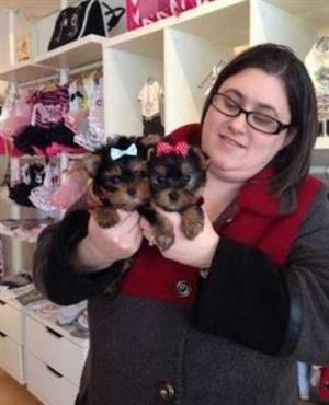 Purebred Yorkshire  puppies for pet homes
