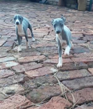 Miniature Italian Greyhound Puppies