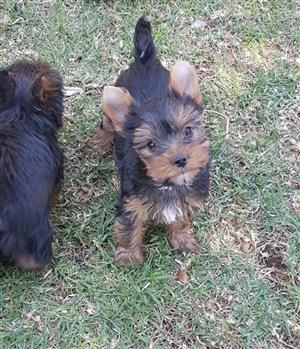 Miniature size Yorkie puppy
