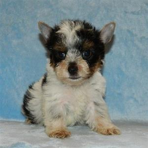 Biewer Terrier male puppy