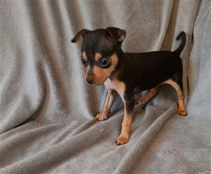 Miniature Doberman Pinscher puppies (Bokkie hond)