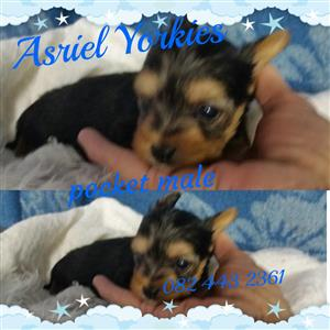 Yorshire terrier pocket male pup