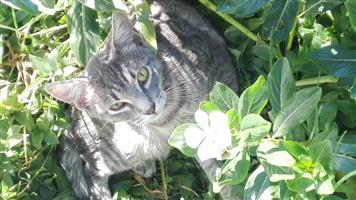 Grey male cat