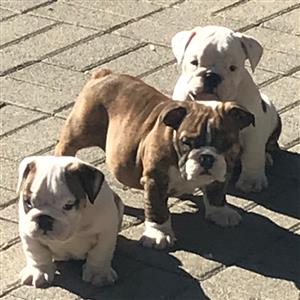 10 week old English Bulldog puppies
