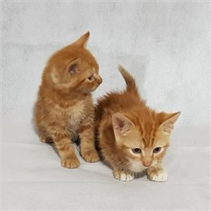Two Beautiful Ginger Maine Coon Kittens.