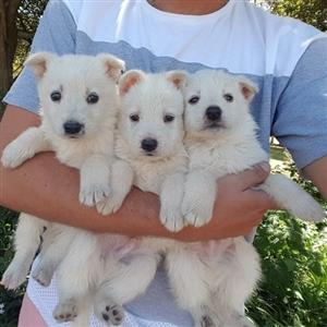 Swiss German Shepherd puppies