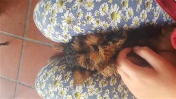 Yorkshire Terrier Puppies BORN 10 OCTOBER 2018